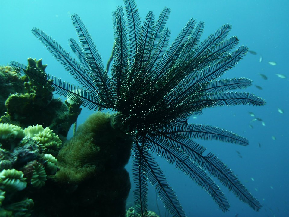caribbean-diving-crinoid