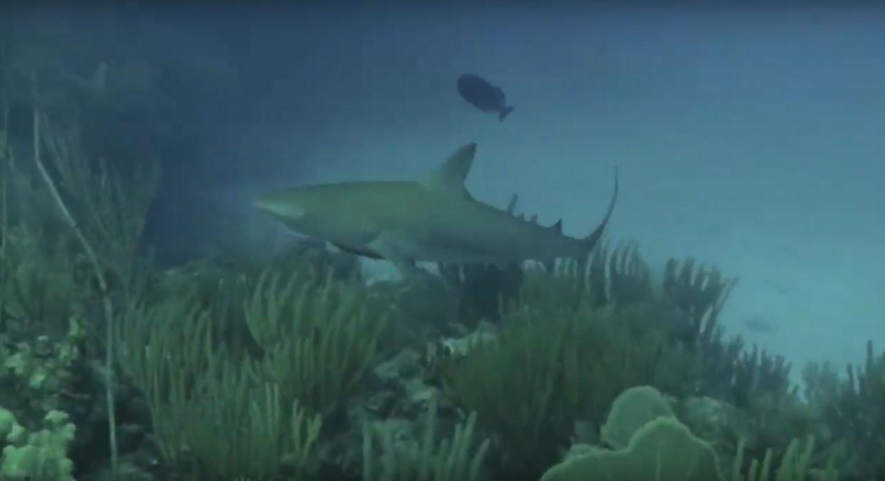 antigua-shark