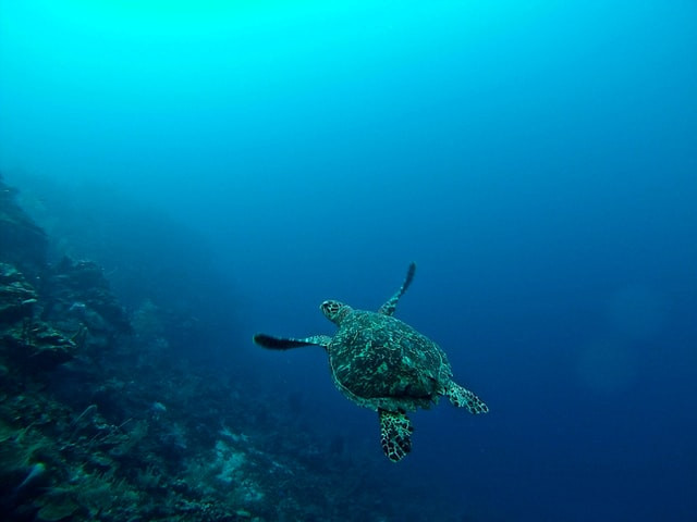 Bay Islands Turtle