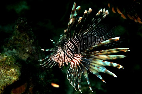Jaws 4 Revenge of the Lionfish..