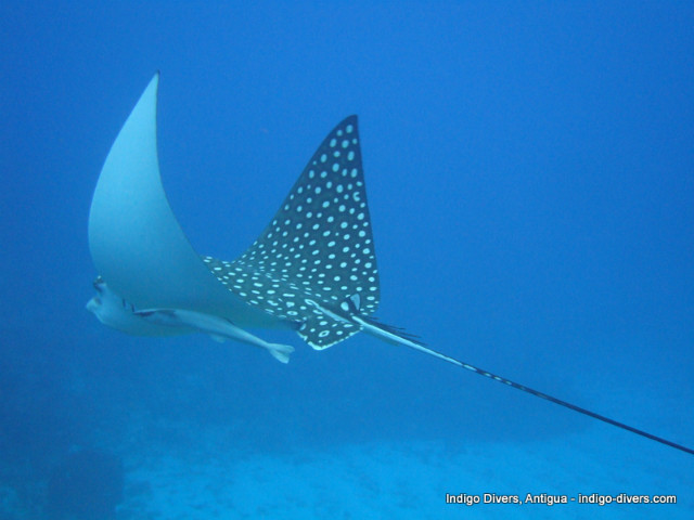 Eagle_Ray-indigo-divers-antigua