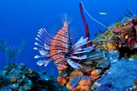 Caribbean Diving Lionfish