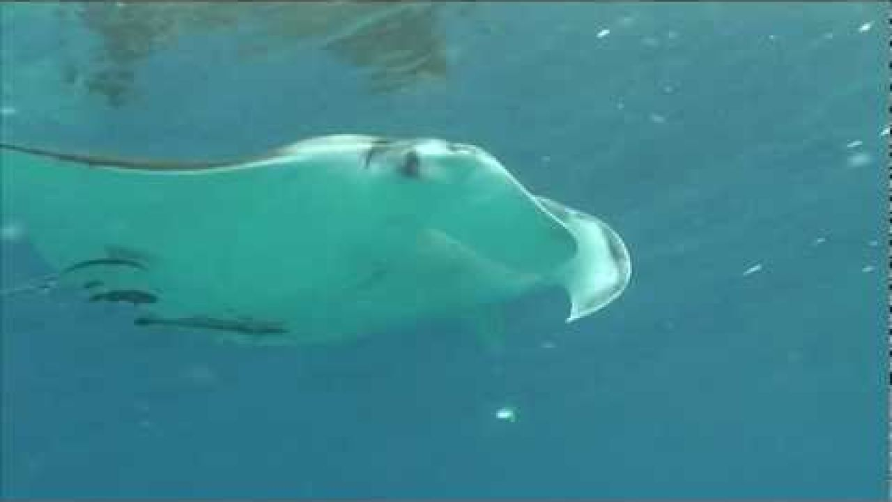 Bonaire Manta Rog Angelina! Manta Ray at Bonaire HD footage!!