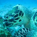 Turtle Feeding on Sponge in Roatan