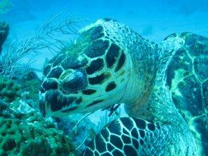 Turtle Feeding on Sponge in Roatan
