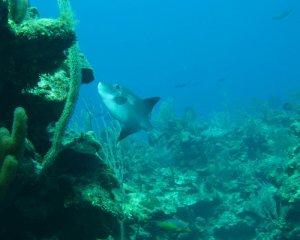 Ocean Trigger Fish
