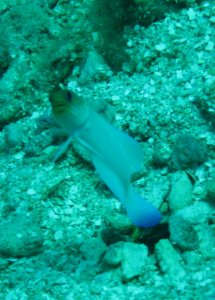 Jaw Fish - Roatan